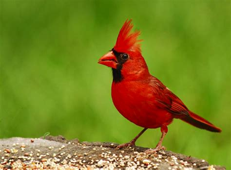 illinois il state bird list of 50 state birdes of the