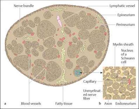 cross section of nerve the nerves human body flanders health blog