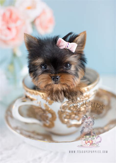 yorkie in a teacup yorkie puppies south florida teacups puppies boutique