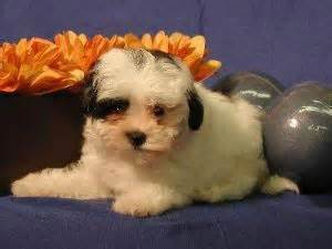 havaneses puppies for sale dogs for sale puppies for sale