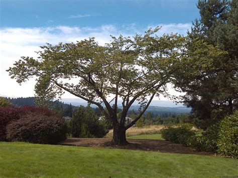 cherry tree pruning trees for portland landscaping before after pruning photos