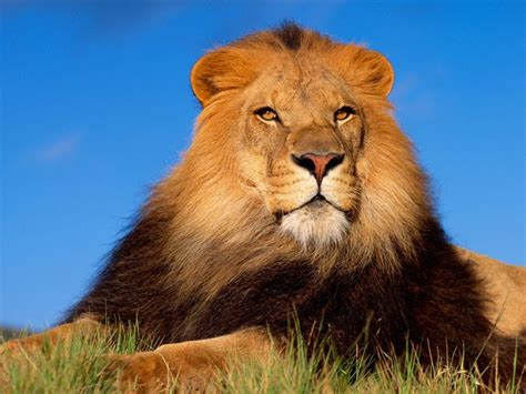 imagenes de animales leon animales salvajes hermosos taringa