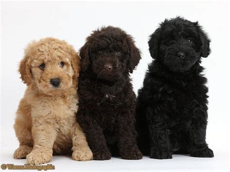 goldendoodle puppy colors 3 of the colors goldendoodles can be golden chocolate