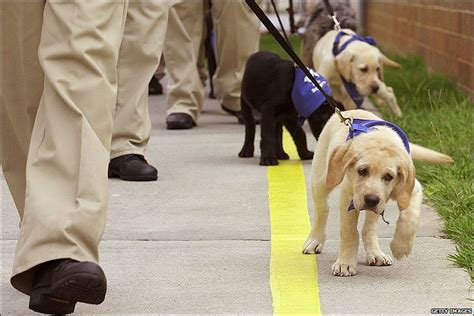 how guide dogs are trained news in pictures a s