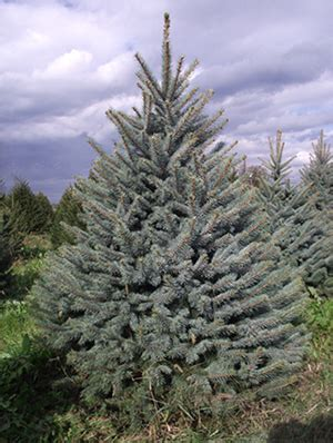 blue spruce jason wilkinson nursery