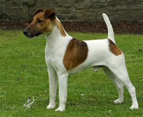 smooth fox terrier puppies for sale fox terrier puppy dogs breeds picture