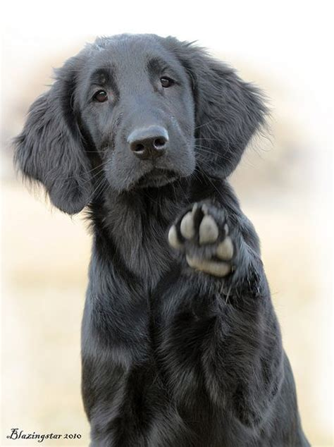 flat coated retriever training guide 107 best images about flat coated retrievers on coats labs and pop art prints