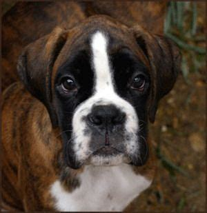 boxer puppies ma best 25 boxer puppies ideas on baby boxer puppies boxer puppies and