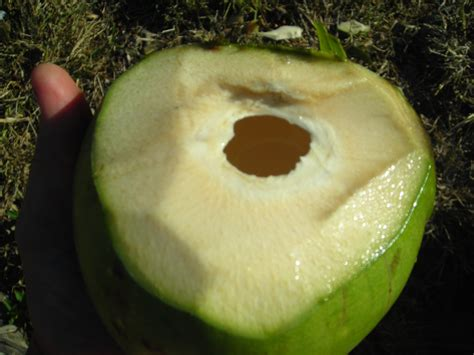 green coconut 28 images nutritional benefits of