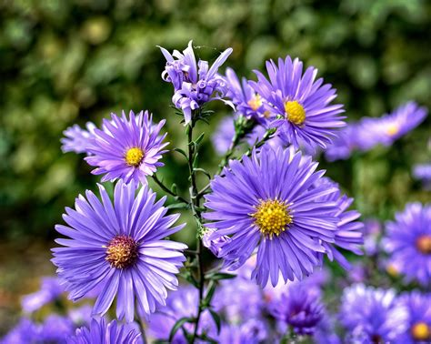 aster fiori aster how to plant grow and care for aster flowers