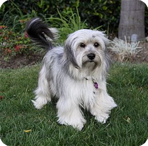 havanese westie mix jaxon adopted newport ca havanese terrier unknown type small mix