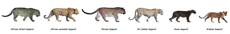 difference between jaguar leopard and panther jaguar vs leopard jaguar vs leopard in your
