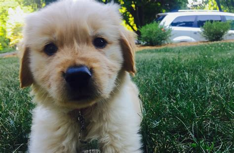 how much is a golden retriever puppy worth how much is a bread golden retriever puppy gonna cost me page 3 bodybuilding