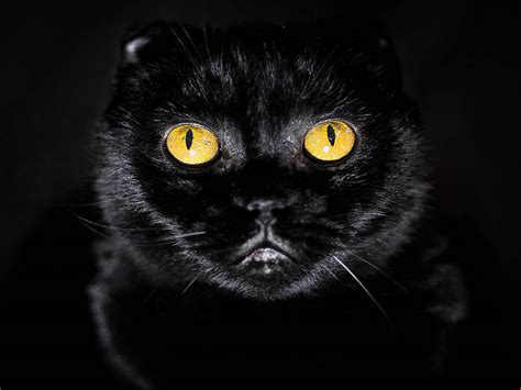 cat k wallpaper wallpapers yellow eyes cat wallpapers