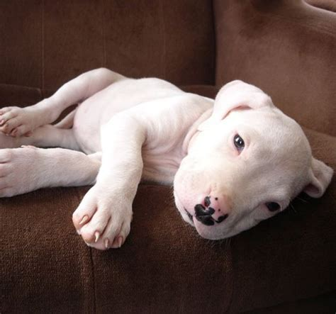 dogo puppies dogo argentino puppy pets s follow me baby and to find out