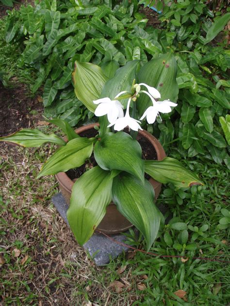 tropical plants thailand mahachok lovely tropical bulb plants in thailand with