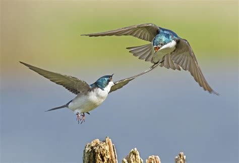 tree swallow audubon field guide