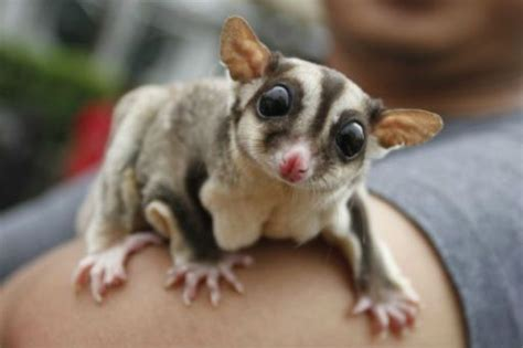 Small Home Animals Sugar Glider Aww We Had One Creatures