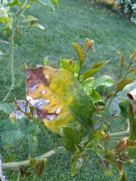 malattie della pianta di limone vaso malattie della pianta di limone cheap malattie della