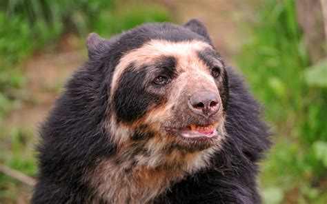 spectacled bear spectacled bear the life of animals
