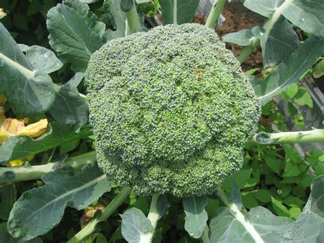 potensi bisnis brokoli  dataran tinggi malang