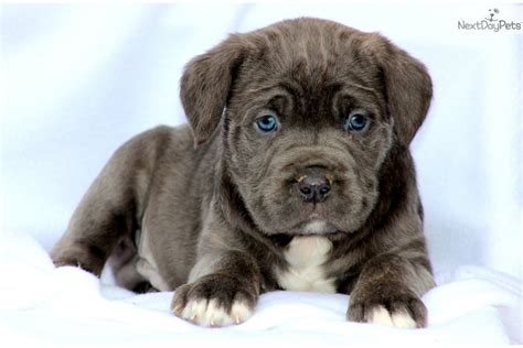 corso mastiff puppies for sale pin italian corso mastiff puppies for sale on