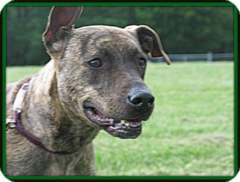 boxer puppies indianapolis adopted indianapolis in greyhound boxer mix