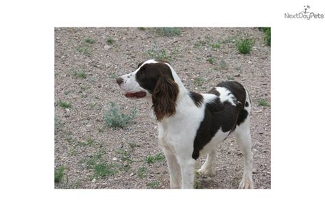 bench bred english springer spaniels bench springer spaniel puppies for sale 28 images