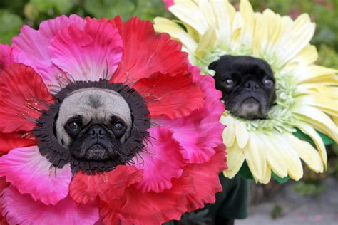 pug et costume pugs in costumes are even better than regular pugs huffpost