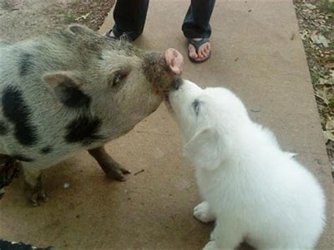 how to a pig pup photos of puppies and pigs the only way to celebrate national pig day dogvacay