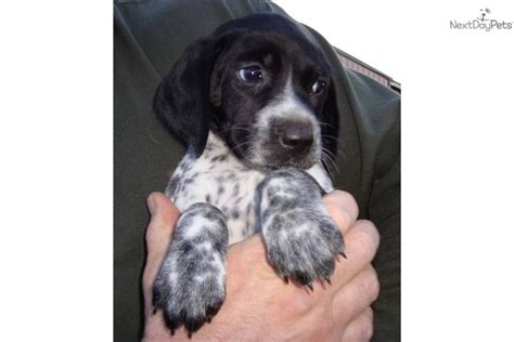 black german shorthaired pointer puppies meet casey a german shorthaired pointer puppy for sale for 800 black roan