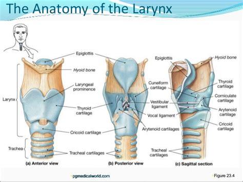 laryngectomy diagram larynx anatomy pictures images