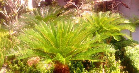 Bromelia Tanaman Hias Fall In M jual pohon sikas jual tanaman hias