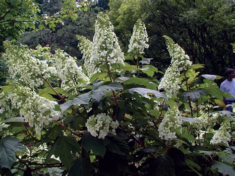 flowering shrubs for shade zone 7 sunless success 15 great easy to grow shrubs for shade