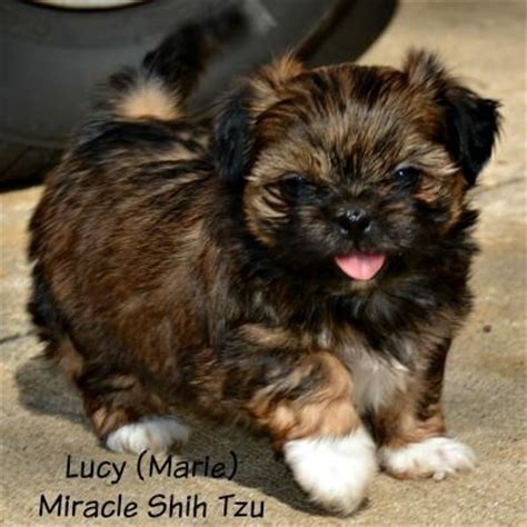 shih tzu puppies for sale ohio shih tzu puppies for sale in ne ohio cleveland akron