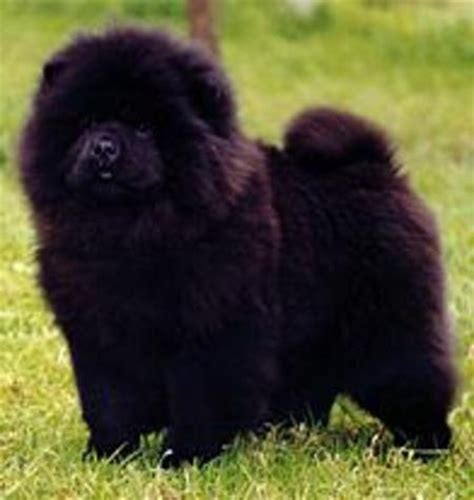Simple Squishy Black Paw why i don t mess with chow chows