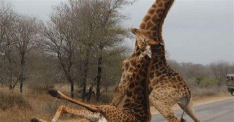Drunk Giraffe Meme - funny drunk giraffe falling road pics jpg 480 215 687