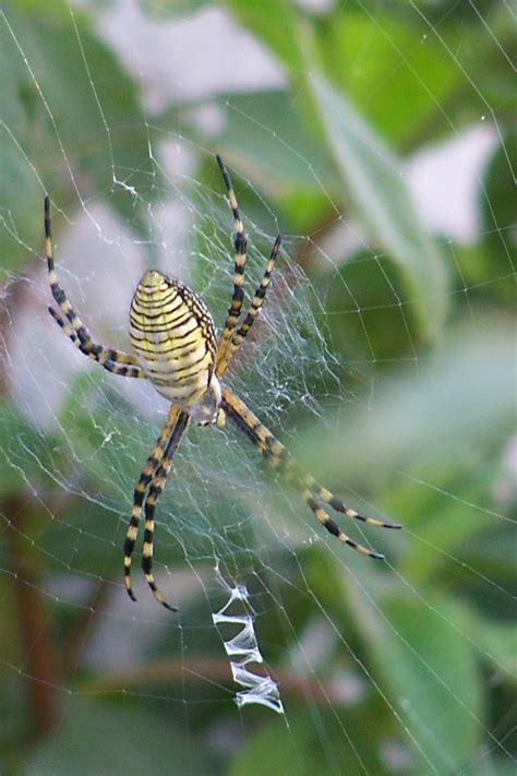 Garden Spider Pictures File Garden Spider With Yellow Strips Jpg Wikimedia Commons