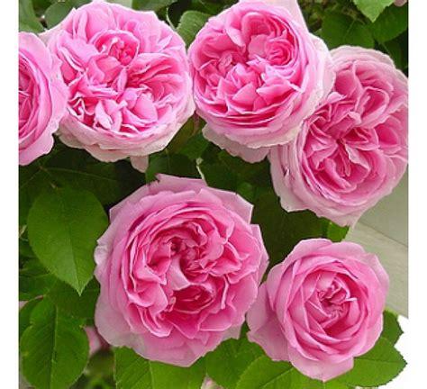 buy climbing rose pink seeds pack   seeds