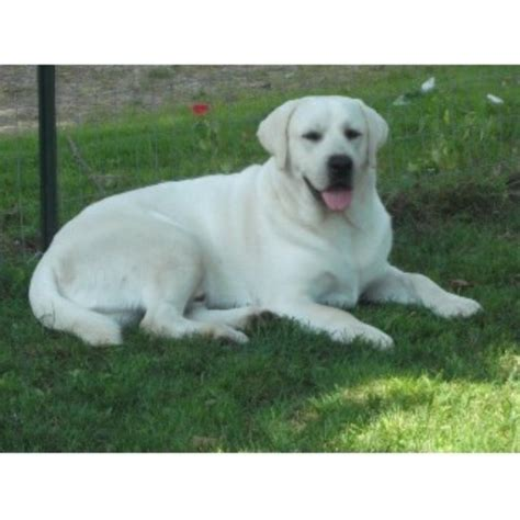blooded lab puppies for sale in sc ethereal labradors labrador retriever stud in hickory grove south carolina