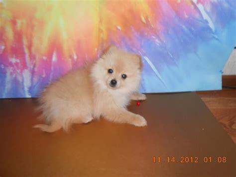 pomeranian oklahoma white teacup pomeranians pomeranian puppies breeds picture
