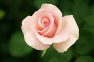 color palo de rosa color rosa palo www imgkid the image kid has it