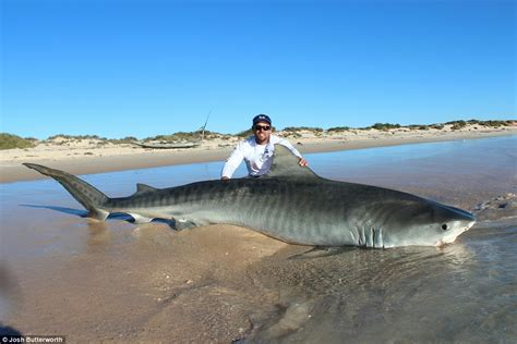 tiger shark 2 2 western australia fisherman catch tiger shark and
