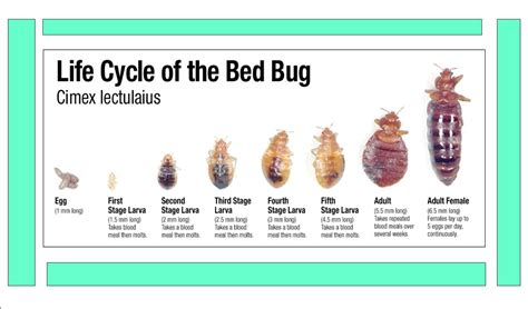 different types of bed bugs bed bug photos bc bed bug expert