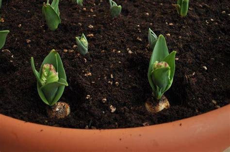 bulbi di tulipano in vaso tulipano fiore significato fiori le caratteristiche