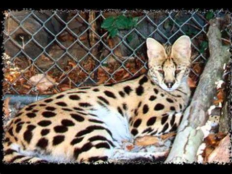 savannah kittens for sale about savannahs savannah f1 savannah cats for sale youtube