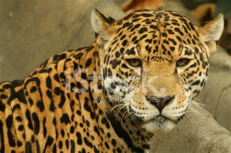 el jaguar panthera onca mascotas taringa el jaguar panthera onca fotograf 237 as de stock freeimages com