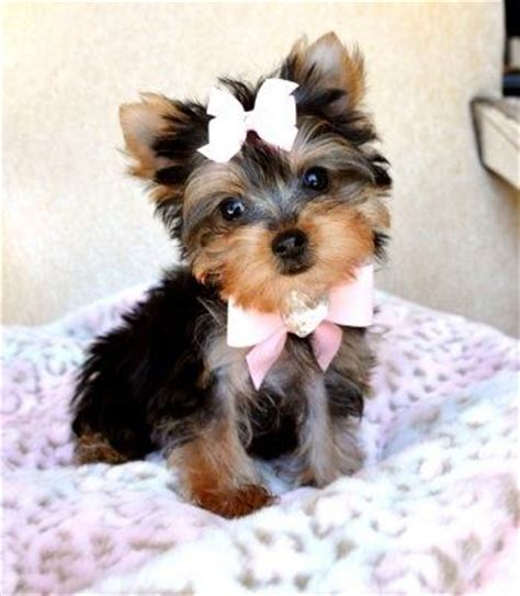 cheap puppies for sale in ma 17 best ideas about cheap puppies for sale on cheap dogs for sale yorkie