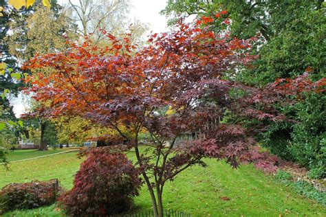 maple tree growing conditions pictures and information japanese maple nuresagi