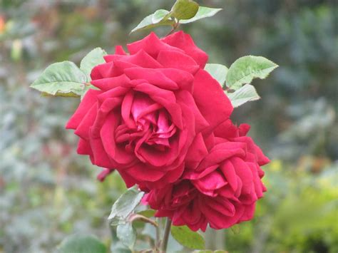 the rose file roses at the rose garden in ooty tn india jpg wikimedia commons